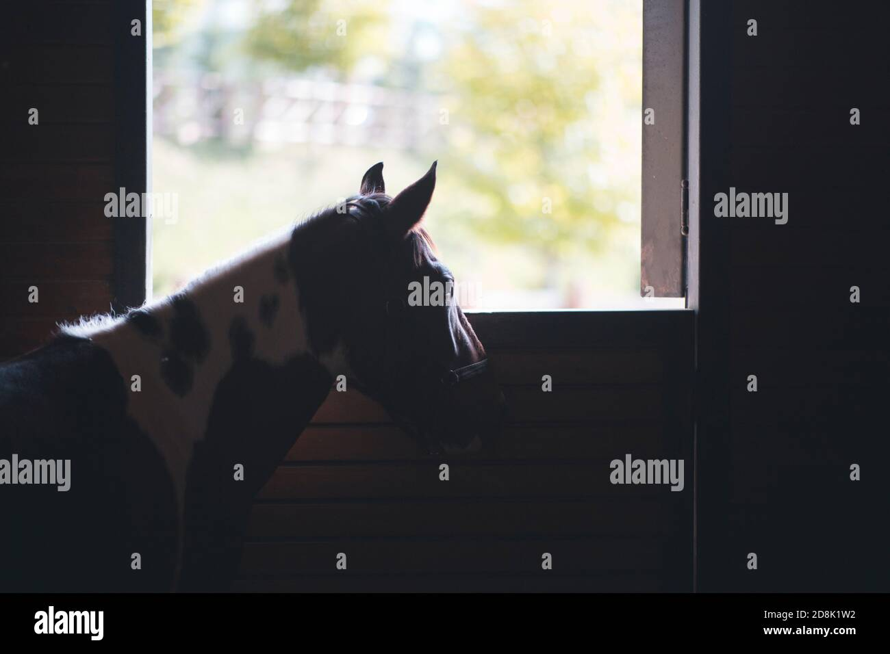 View of exploiting pony, it is an poor animal and looking for freedom. Copy space design text includes. Stock Photo