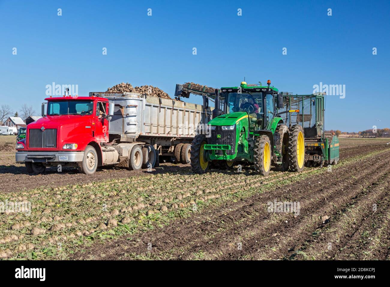 Deckerville, Michigan - Sugar beet harvest on a Michigan farm. The beets will be processed by the Michigan Sugar Company, a farmer-owned cooperative w Stock Photo