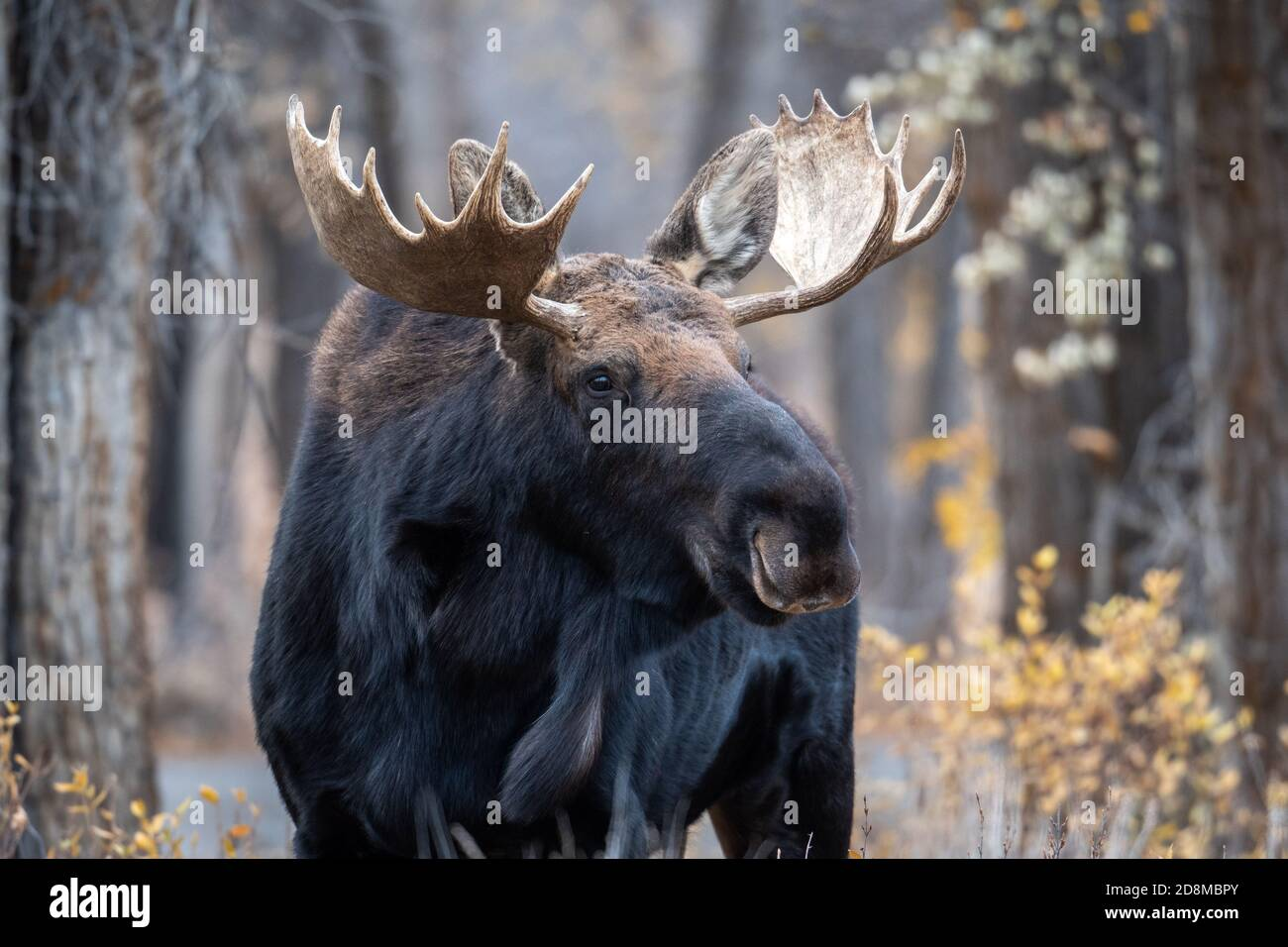 Large bull elk in the woods in Grand Teton National Park Stock Photo