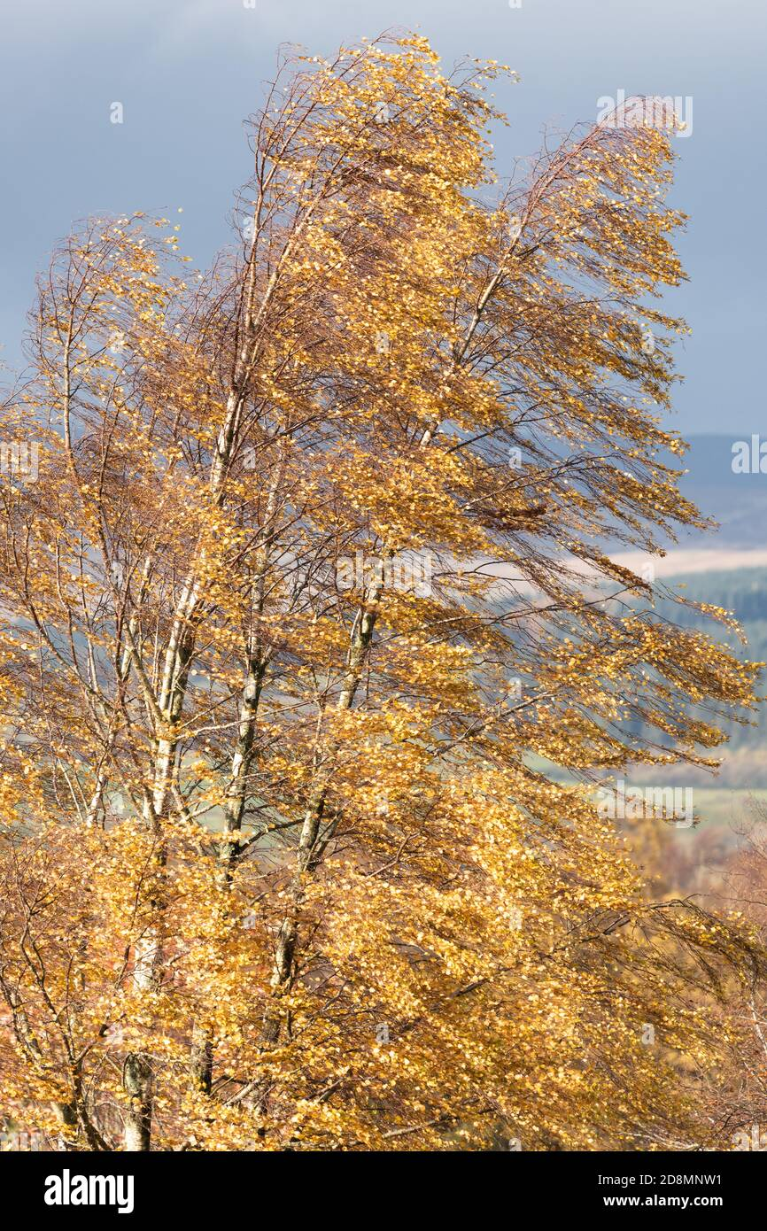 Silver Birch betula pendula leaves blowing in autumn wind - UK Stock Photo