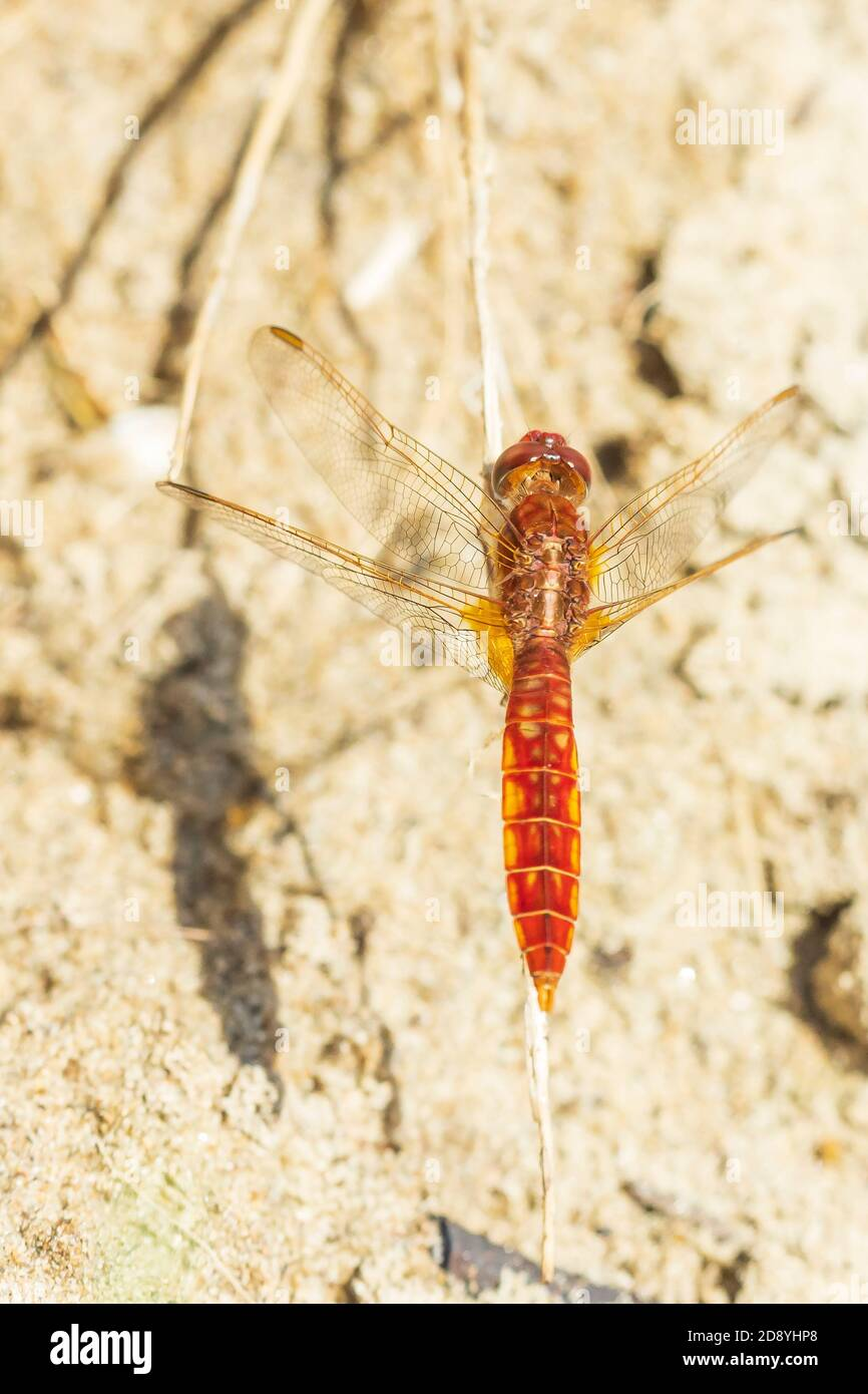 Scarlet dragonfly male, Crocothemis erythraea, bright red colored resting on the ground. Selective focus Stock Photo