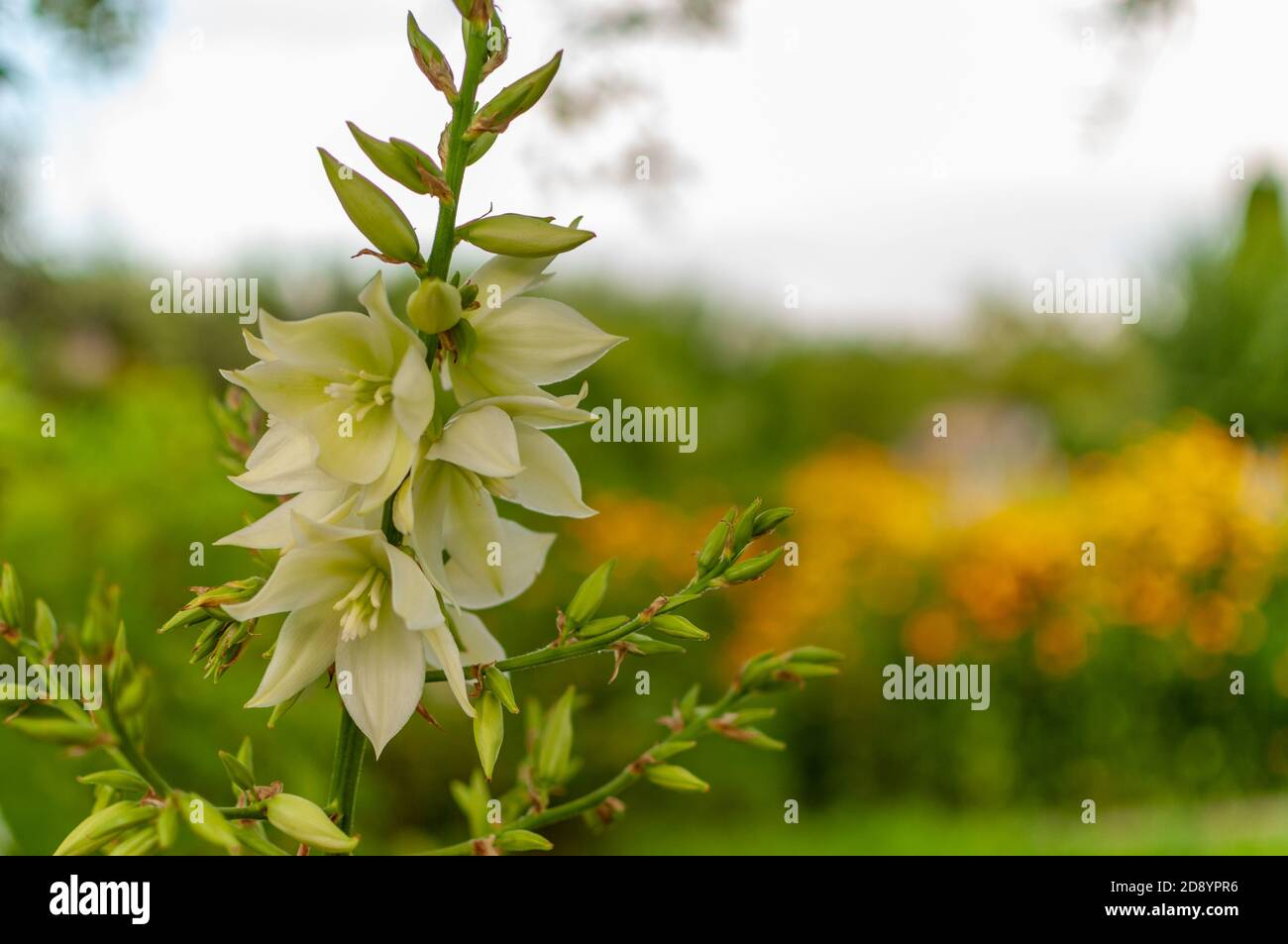 Page 3 Adams Needle Yucca High Resolution Stock Photography And Images Alamy