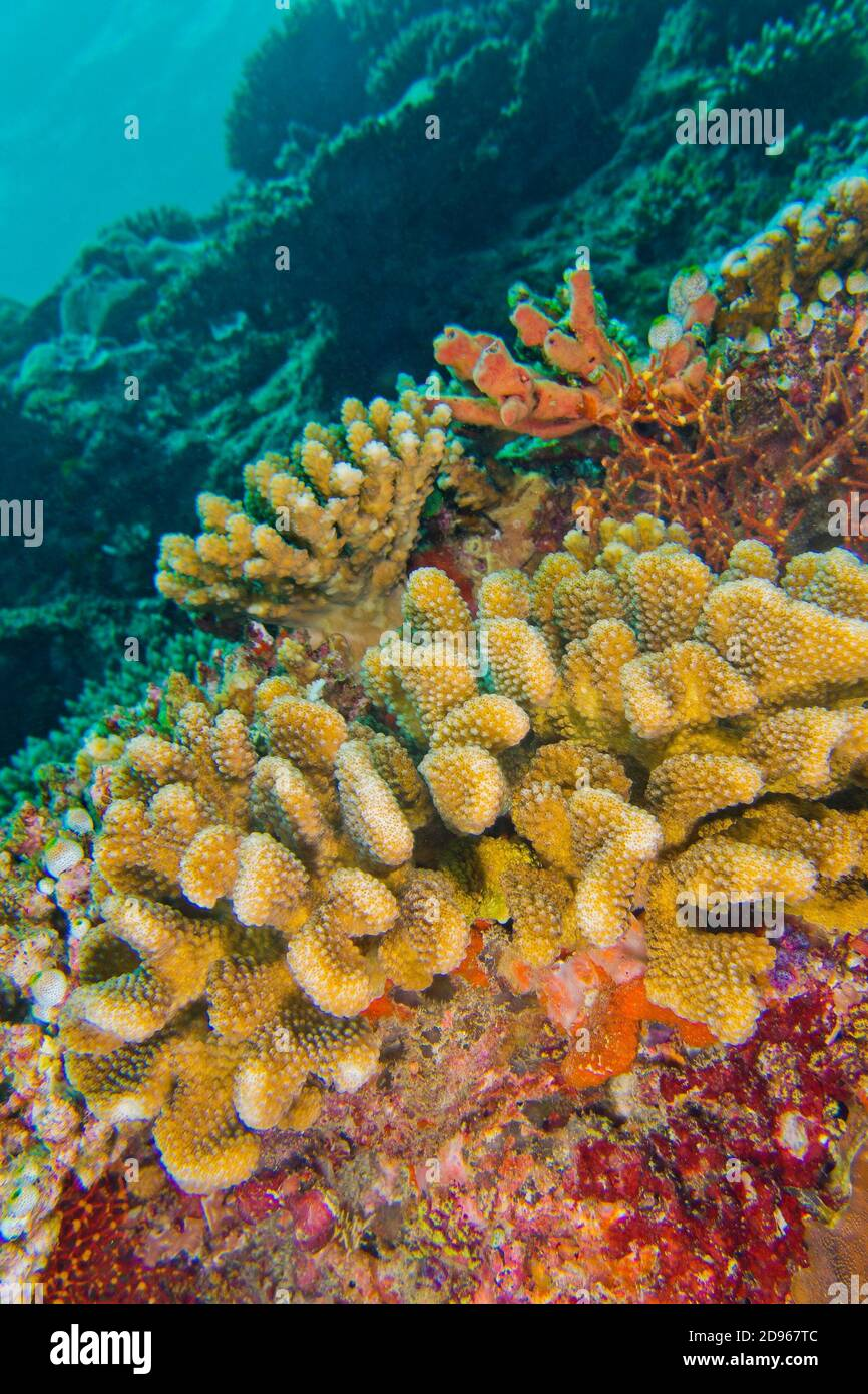 Acropora coral uk betting binary options software signals