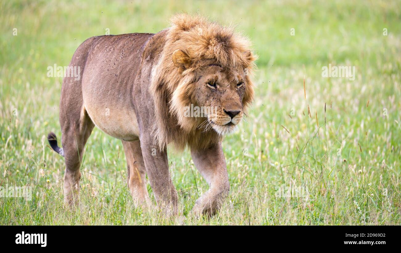 One big male lion is walking in the savannah. Stock Photo