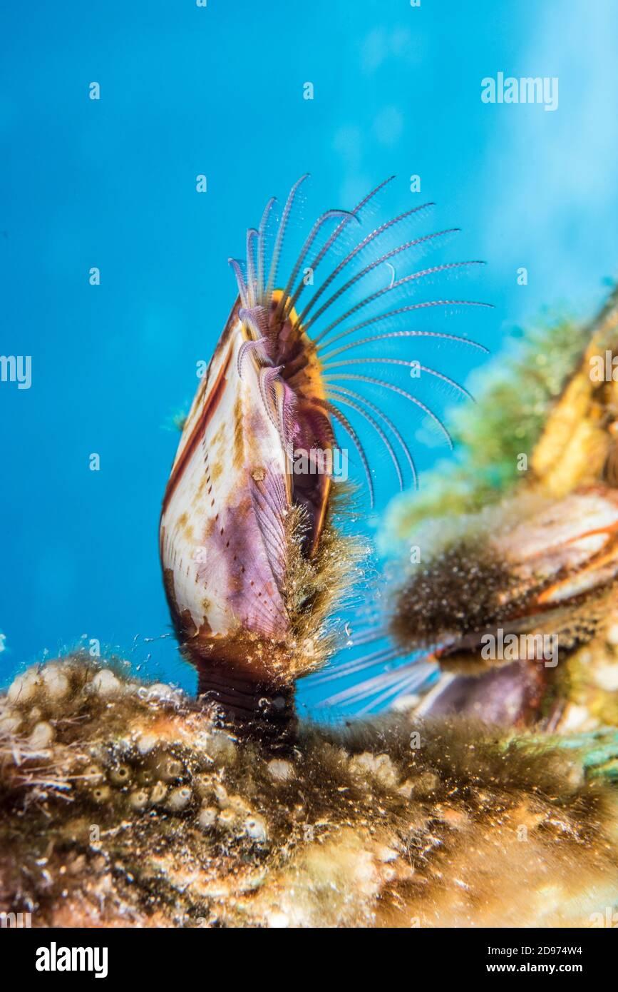 Goose barnacle (Lepas hillii), Tahiti French Polynesia Stock Photo