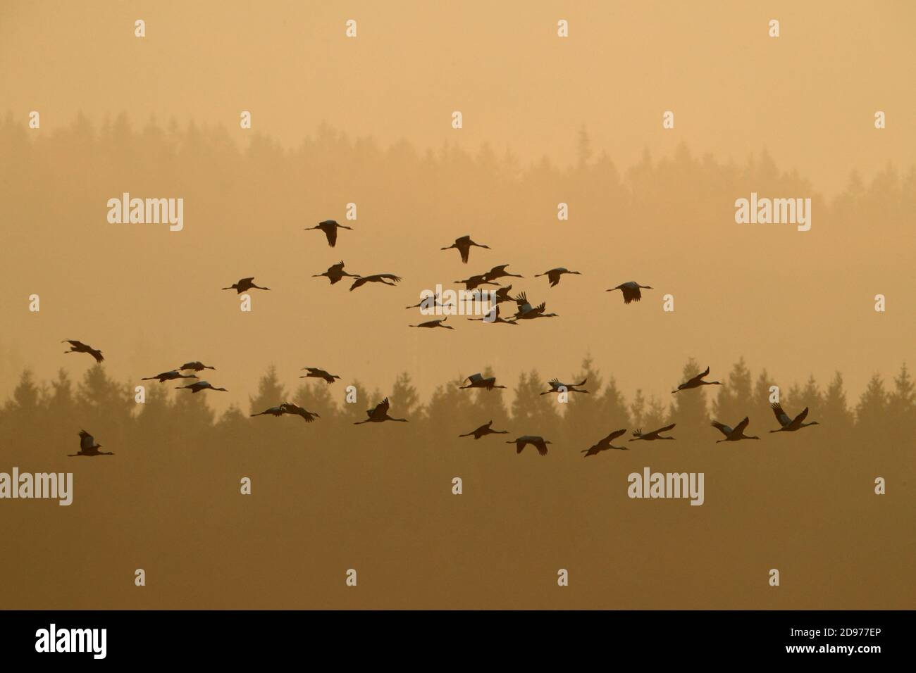 Common Crane (Grus grus) flying group, Fagne wallonne, Ardennes, Belgium Stock Photo