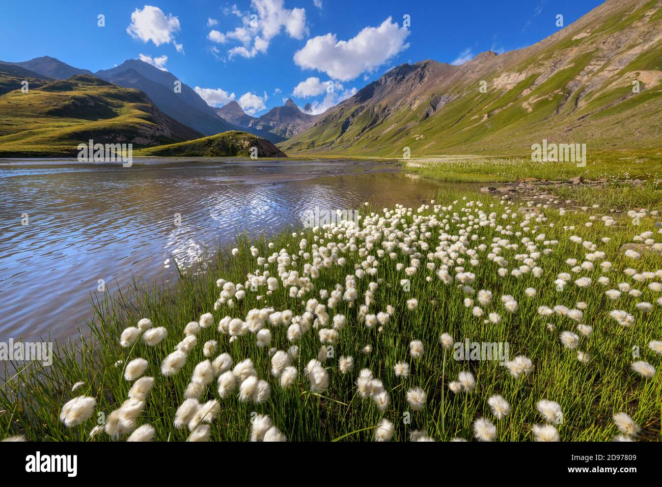 Cotton grass (Eriophorum sp) on the shores of Goleon lake, in the background, the Aiguilles d'Arves, Ecrins National Park, north of La Grave, Stock Photo