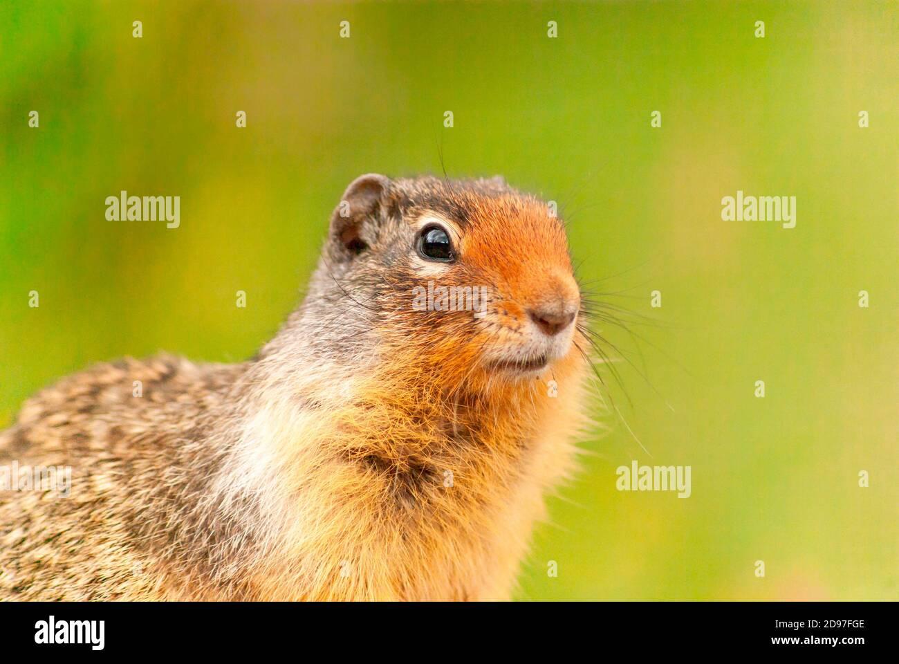 Columbian ground squirrel (Urocitellus columbianus) portrait, Rocky Mountains, Canada Stock Photo