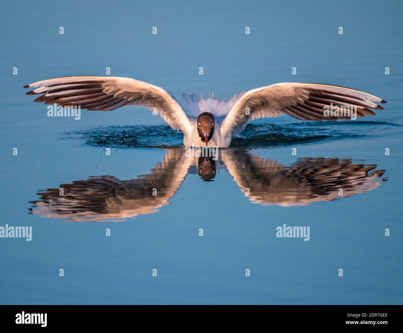 Black-headed Gull (Chroicocephalus ridibundus) landing on the water with its reflection, France Stock Photo