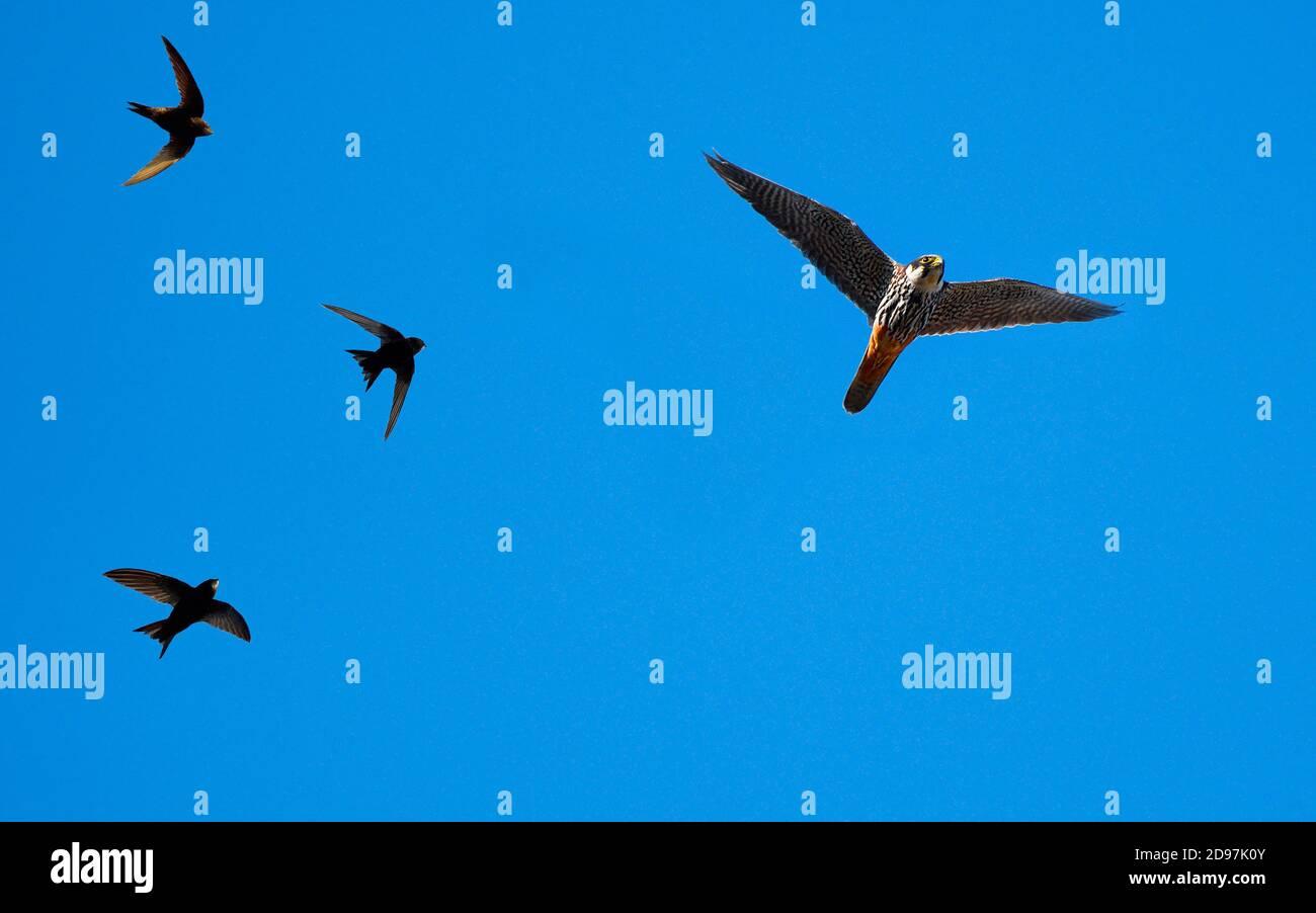 Hobby falcon (Falco subbuteo) hoofed by Common Swift (Apus apus) in flight, Parc naturel regional des Vosges du Nord, France Stock Photo