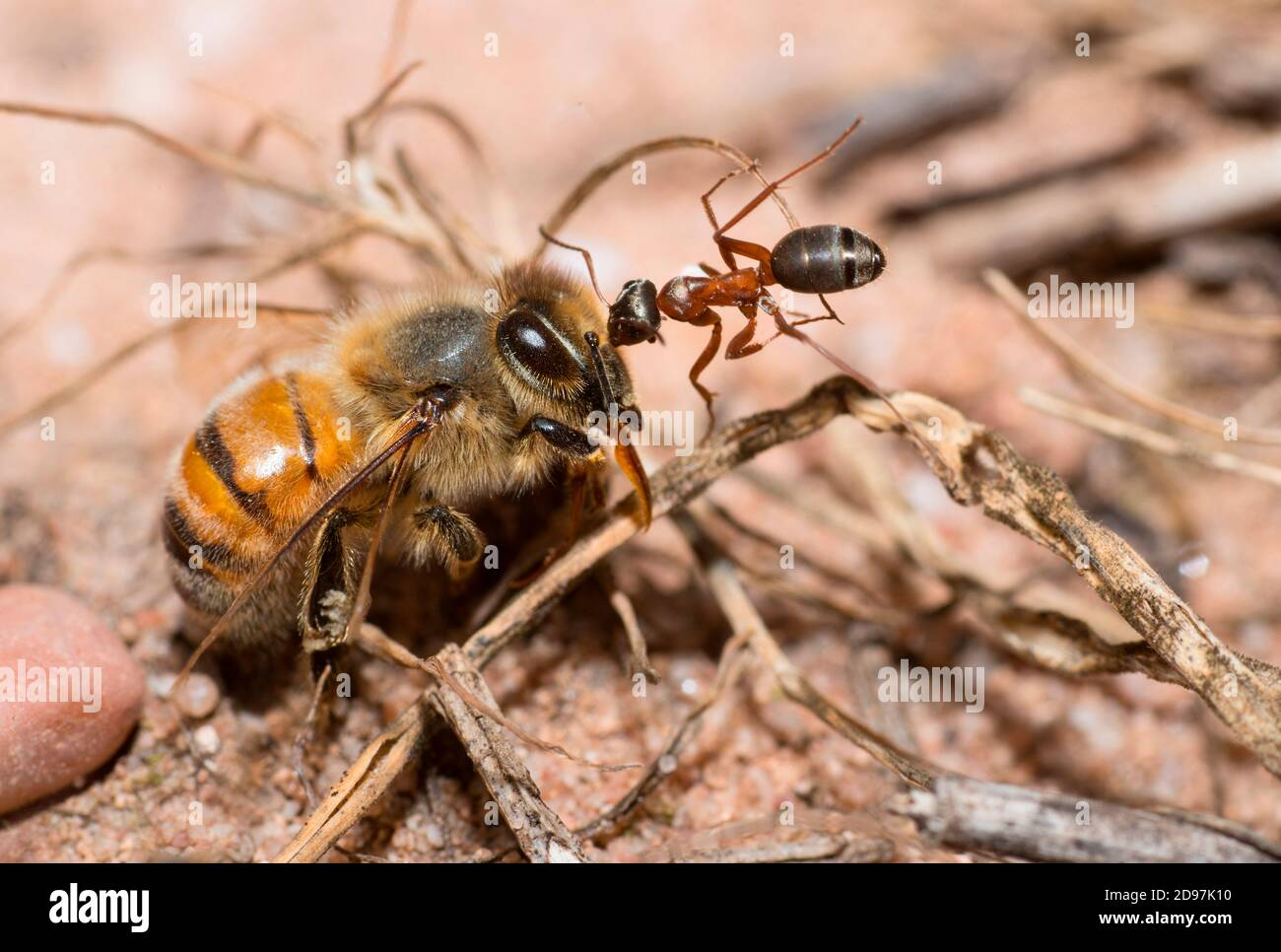 Southern wood ant (Formica rufa) towing a honey bee (Apis mellifera), Vosges du Nord Regional Nature Park, France Stock Photo