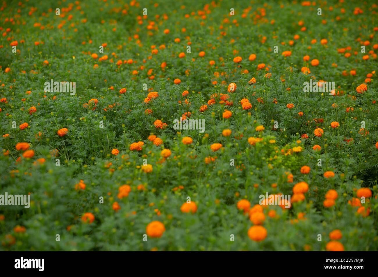 Beautiful blooming orange marigold flowers in the garden. Orange Green flowers background. Stock Photo