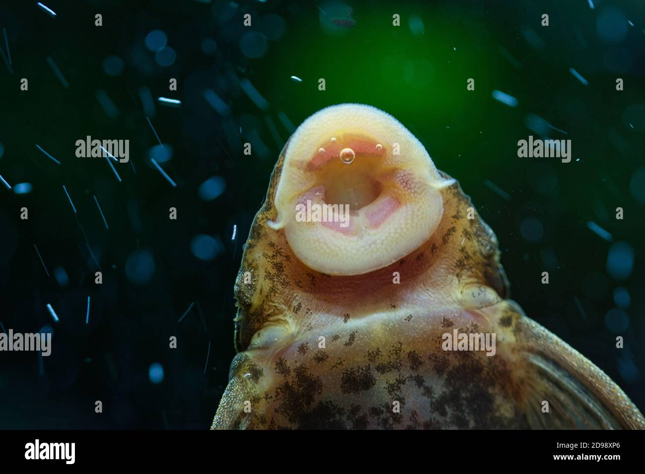 An algae eater fish sucking algae off aquarium tank wall, detailed close up texture of fish mouth and underside of the body, dark green blurred backgr Stock Photo
