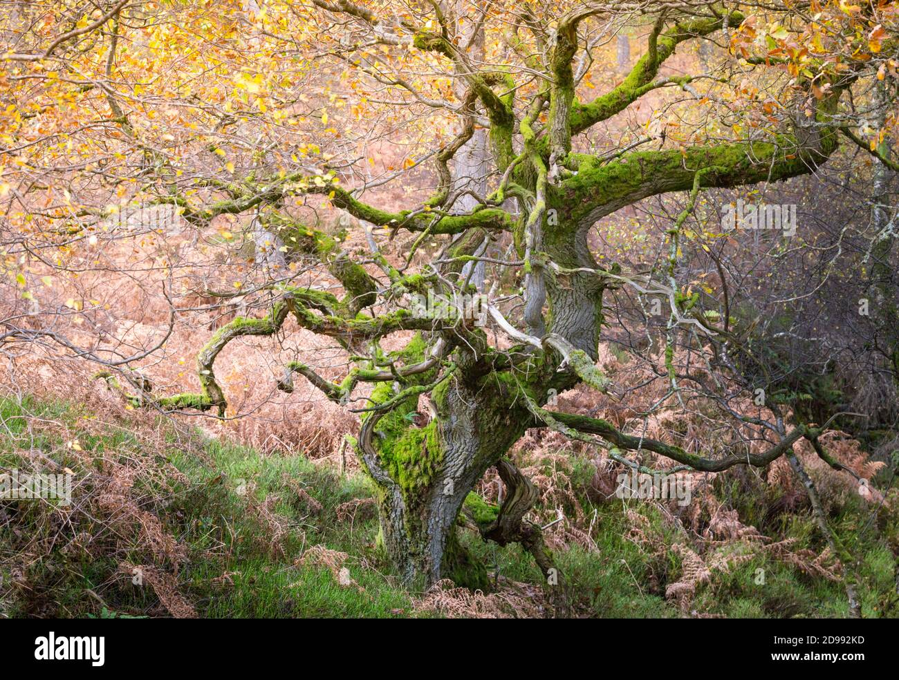 Twisted ancient oak trees in a woodland in Autumn time, with golden leaves and bright green moss on the tree trunks and branches. Stock Photo