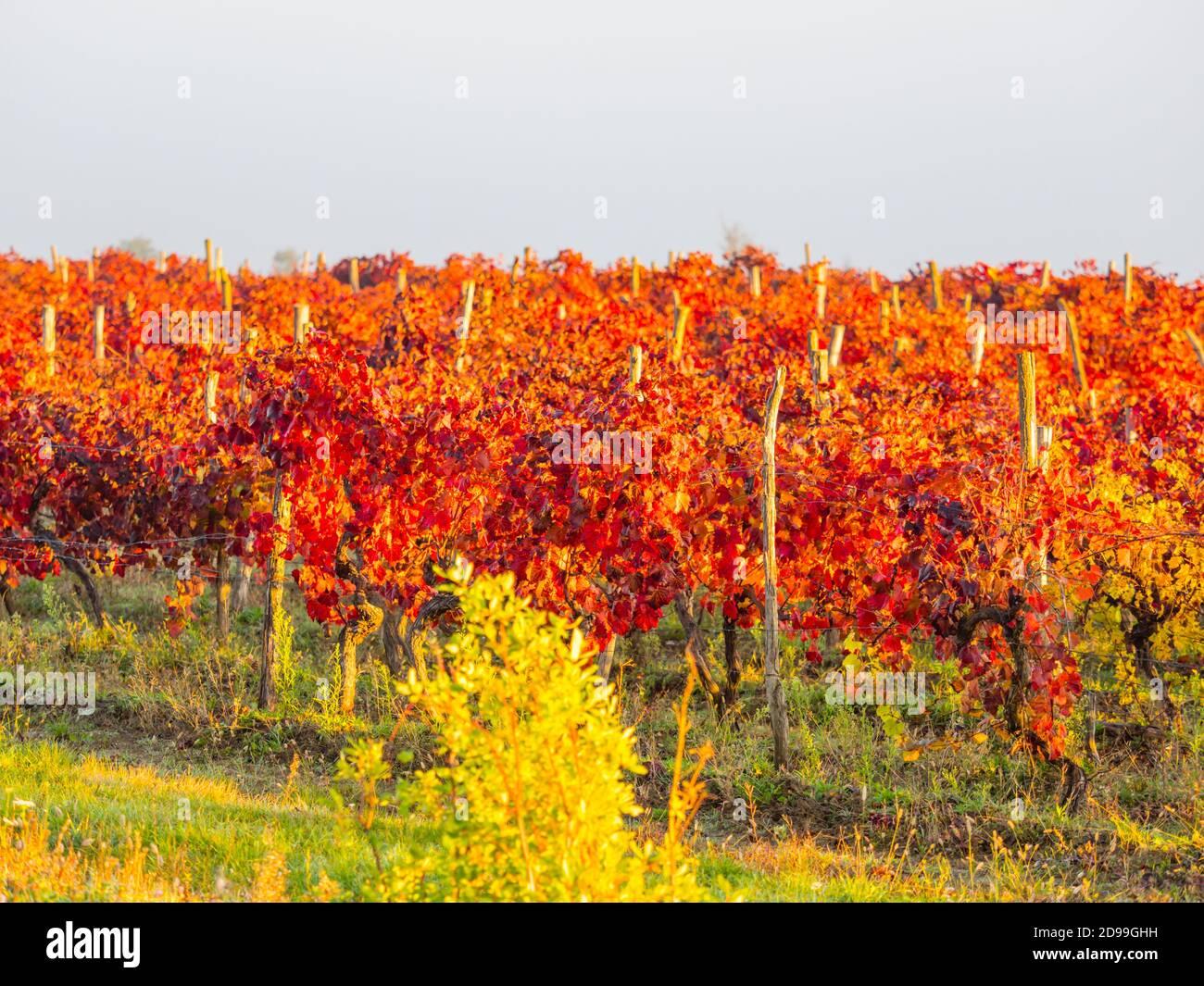 Red grapevine field in late Autumn near Motovun in Istria Croatia Europe Stock Photo