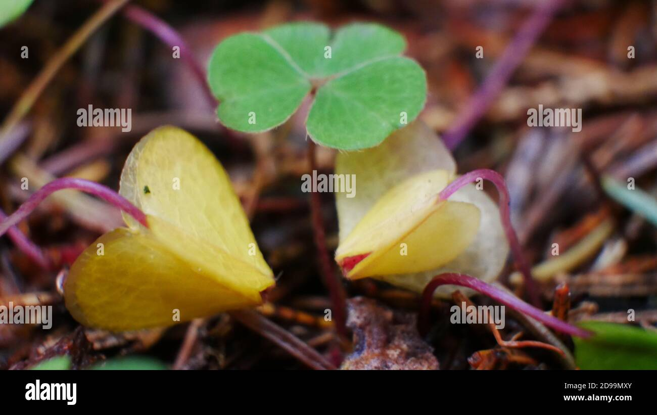 Macro picture of green clover with yellow seedling in the forest in autumn Stock Photo