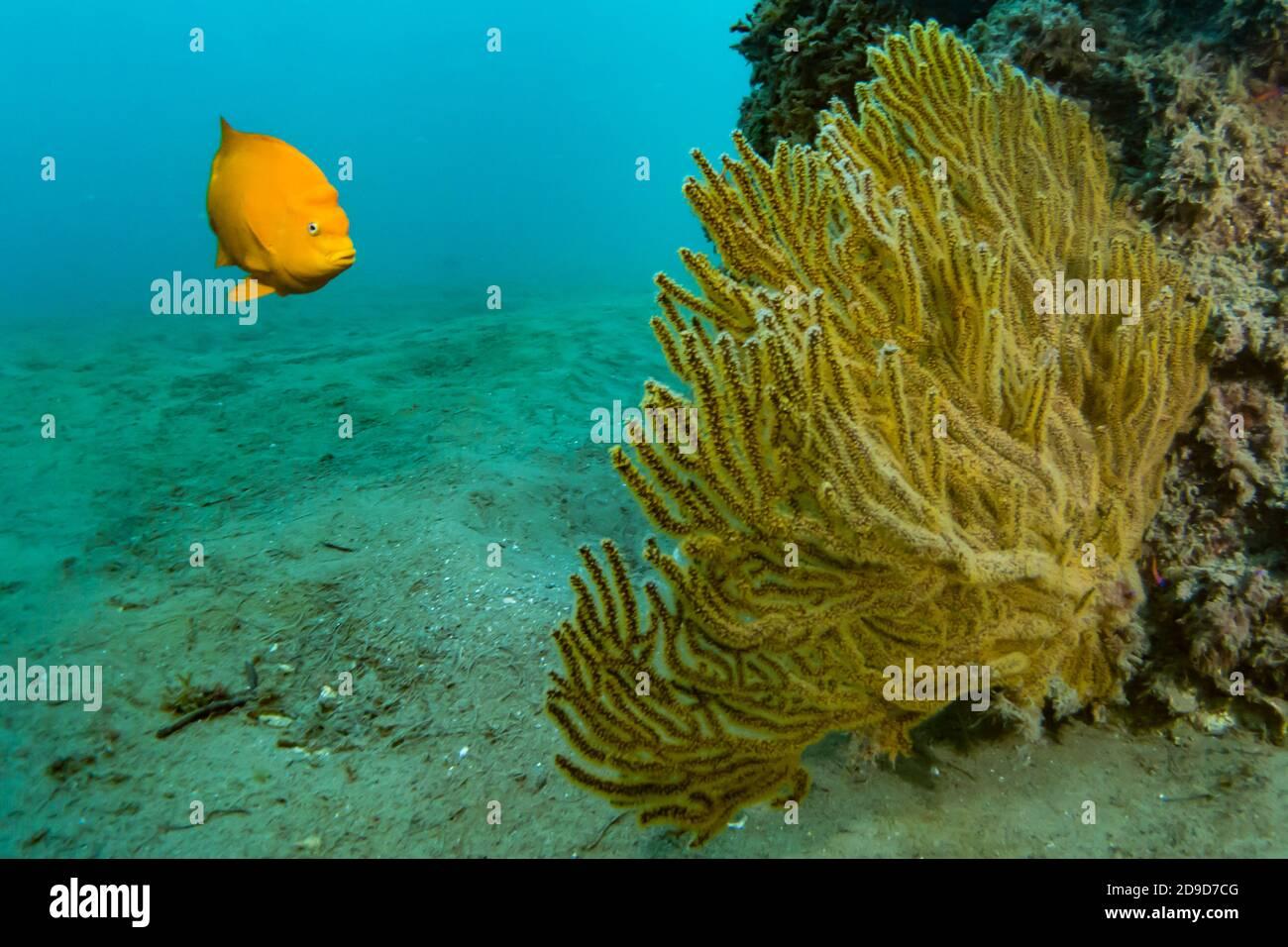 Garibaldi, Hypsypops rubicundus, the California State Marine Fish, SCUBA diving at Catalina Island, California, USA Stock Photo