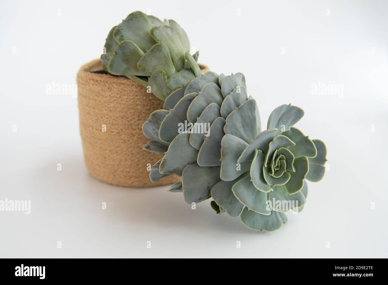 Echeveria - a rosette succulent houseplant suffering from etiolation - where it has grown tall stretched and leggy searching for sunlight Stock Photo