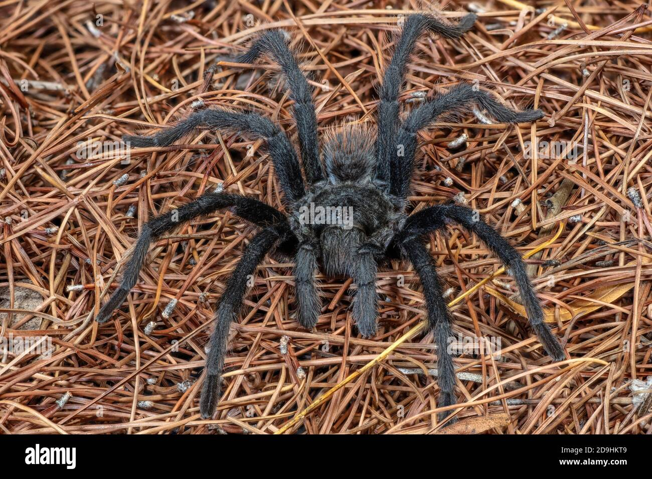 Desert Tarantula High Resolution Stock Photography And Images Alamy