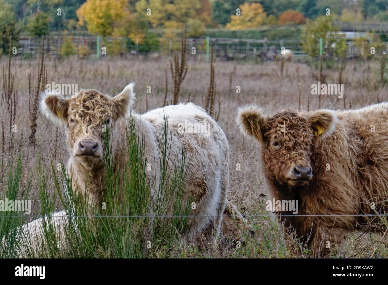 Döberitzer Heide-Galloways, Freilandhaltung, Rinderzucht, Elstal, Wustermark, Heinz Sielmann Stiftung, Stock Photo