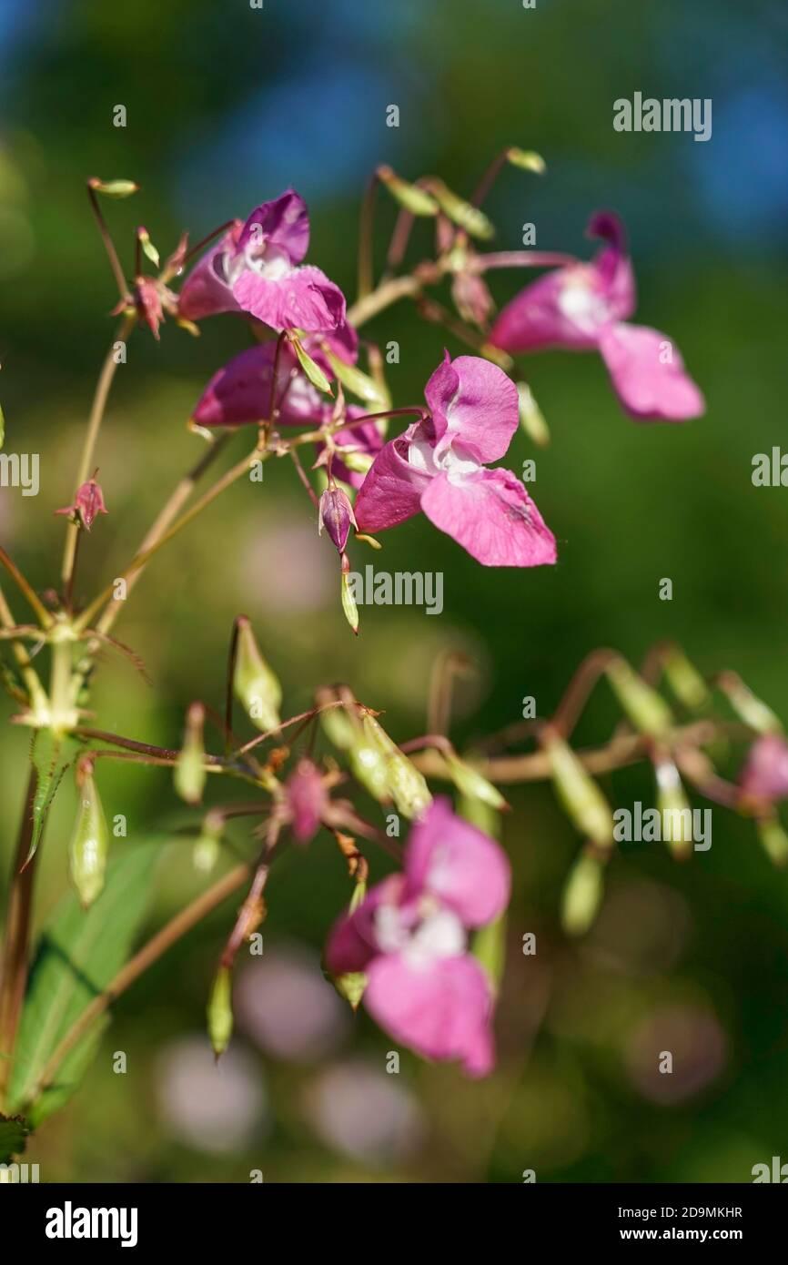 Germany, Bavaria, Upper Bavaria, Glandular balsam, Impatiens glandulifera, flowers Stock Photo