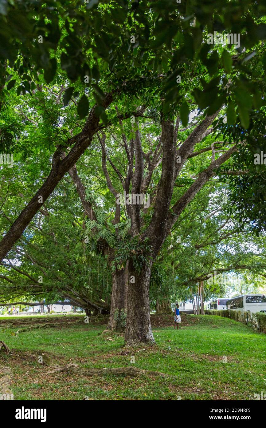 Kapok tree and banyan tree, garden with palm trees and exotic plants, rum distillery Le Saint Aubin, founded in 1819, Saint Aubin, Mauritius, Africa, Indian Ocean Stock Photo