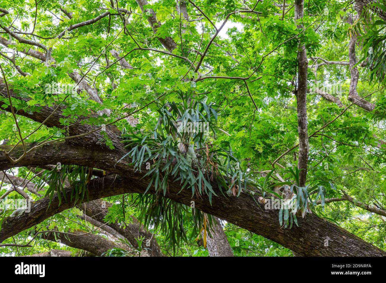 Antler ferns, (Platycerium bifurcatum), on a kapok tree, garden with palm trees and exotic plants, rum distillery Le Saint Aubin, founded in 1819, Saint Aubin, Mauritius, Africa, Indian Ocean Stock Photo