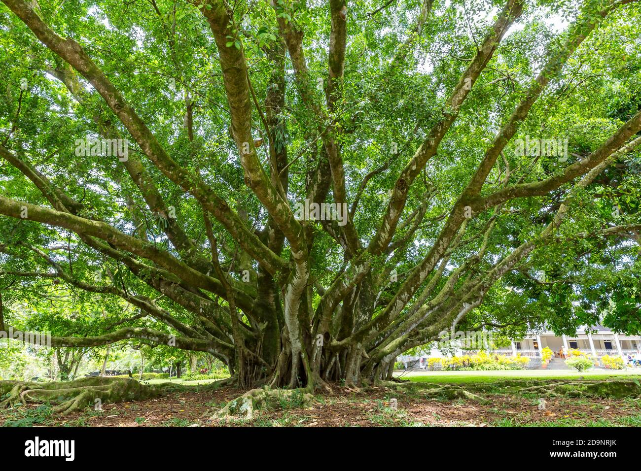 Banyan tree, garden with palm trees and exotic plants, rum distillery Le Saint Aubin, founded in 1819, Saint Aubin, Mauritius, Africa, Indian Ocean Stock Photo