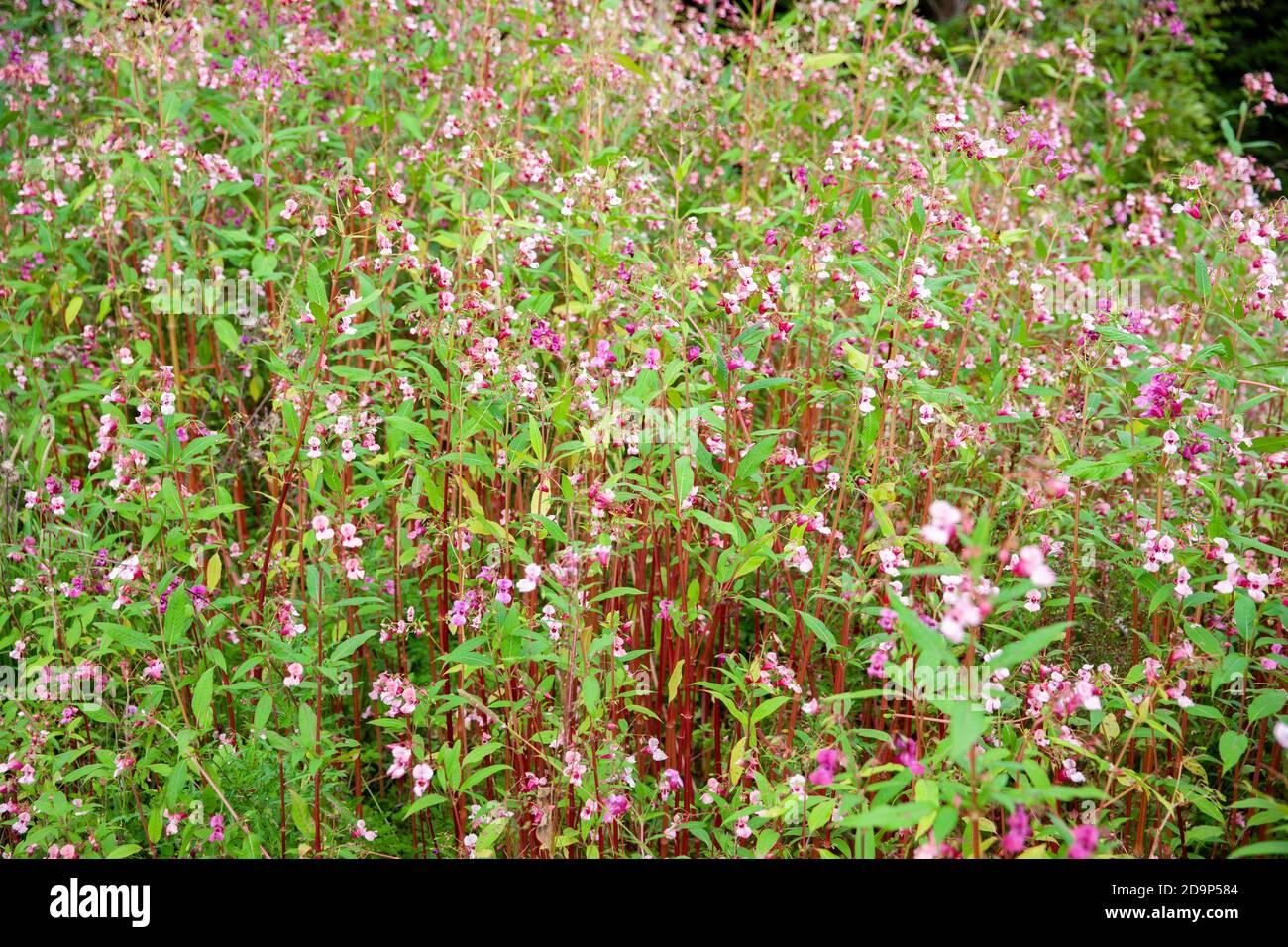 Glandular balsam Impatiens glandulifera Stock Photo