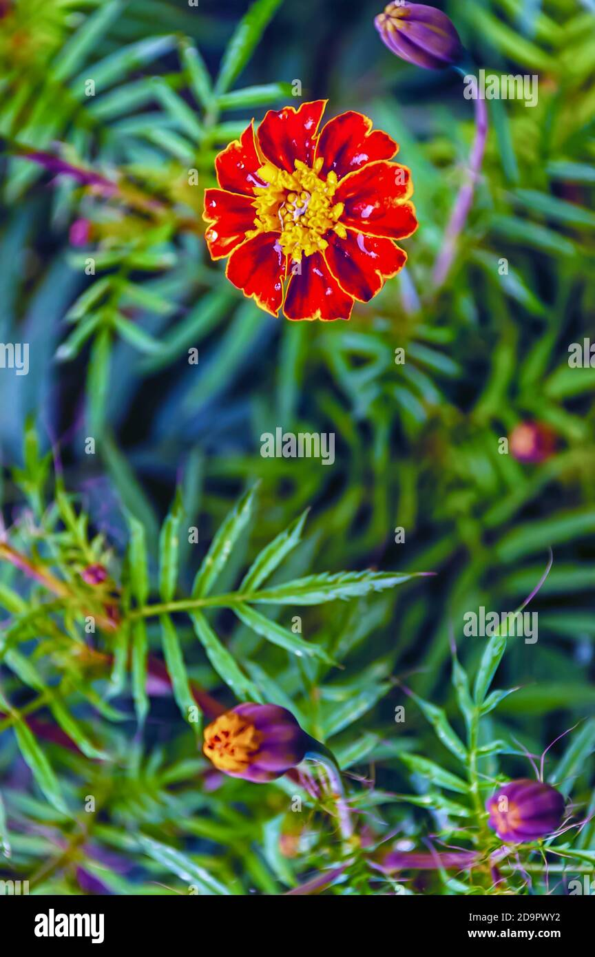 A close up of a blooming French marigold—Tagetes patula—in a home garden. Stock Photo