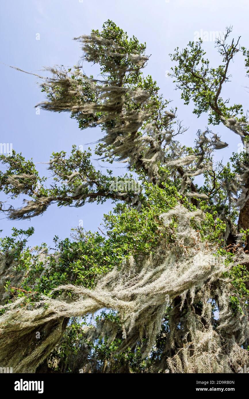 Louisiana Lake Pontchartrain Saint St. Tammany Parish Mandeville Lakeshore Drive, Spanish moss live oak tree looking up, Stock Photo