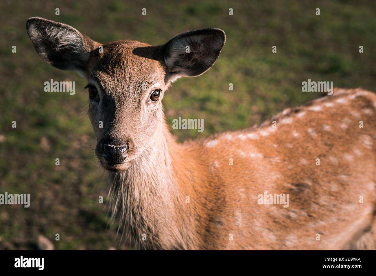 Wild deer nips grass in a green meadow. Nature, beautiful animals live in their habitat.  Stock Photo