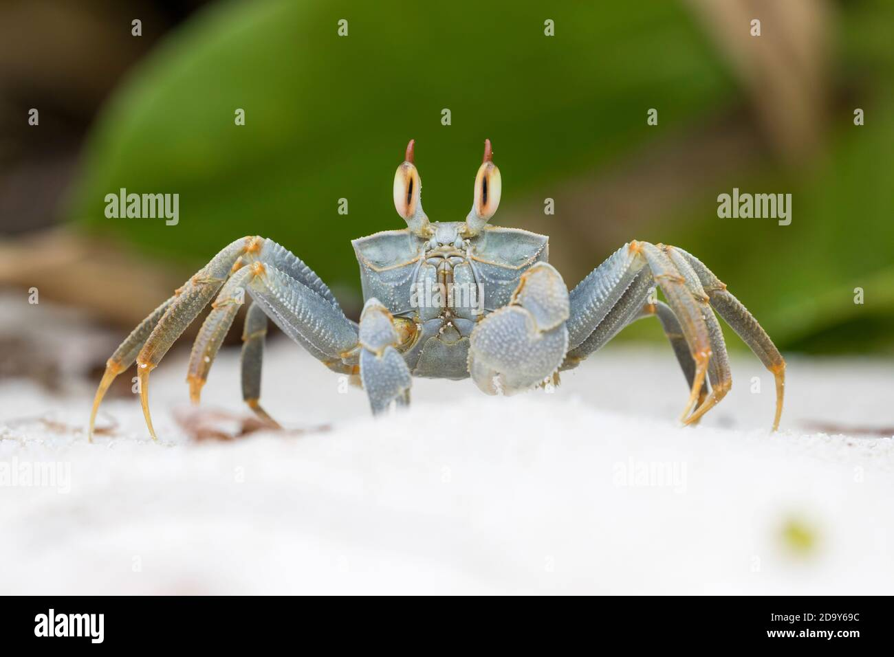 Horned Ghost Crab; Ocypode ceratopthalmus; Seychelles; Stock Photo