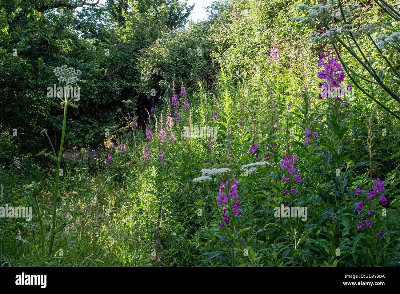 Rosebay Willowherb, Chamerion angustifolium Stock Photo