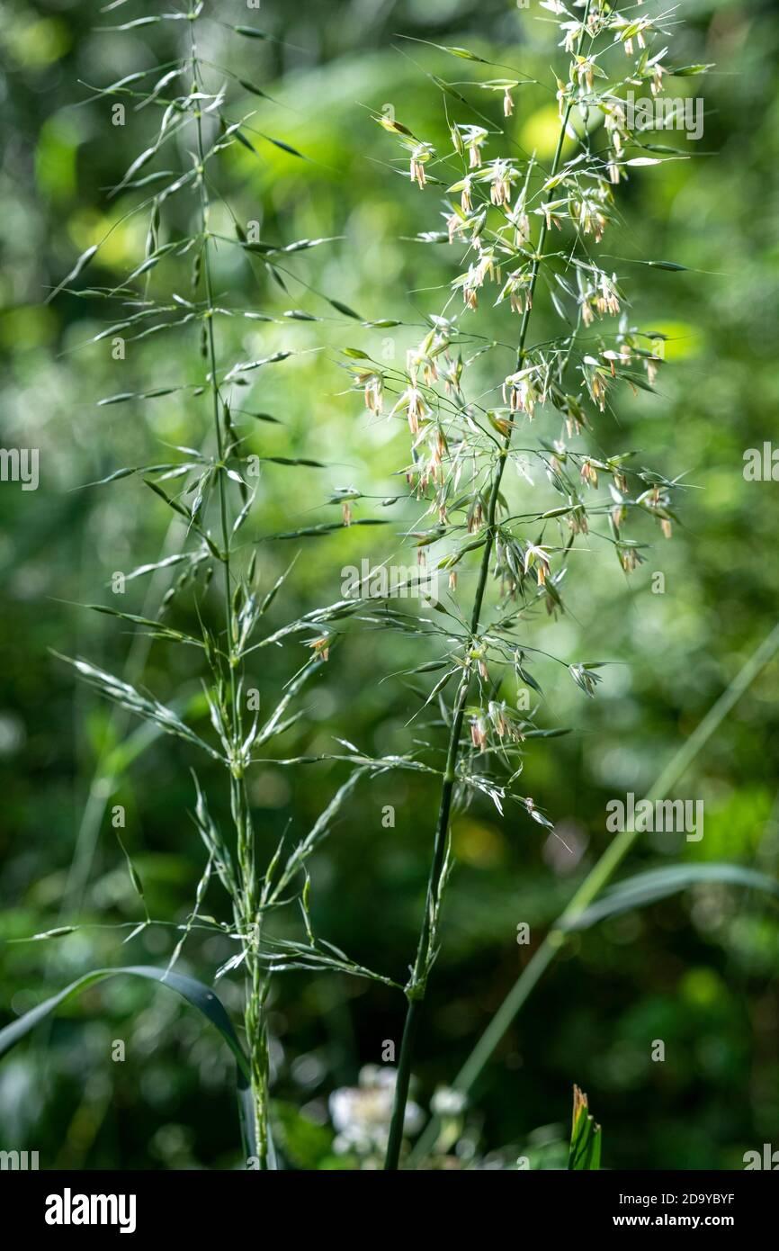 False Oat Grass, Arrhenatherum elatius Stock Photo