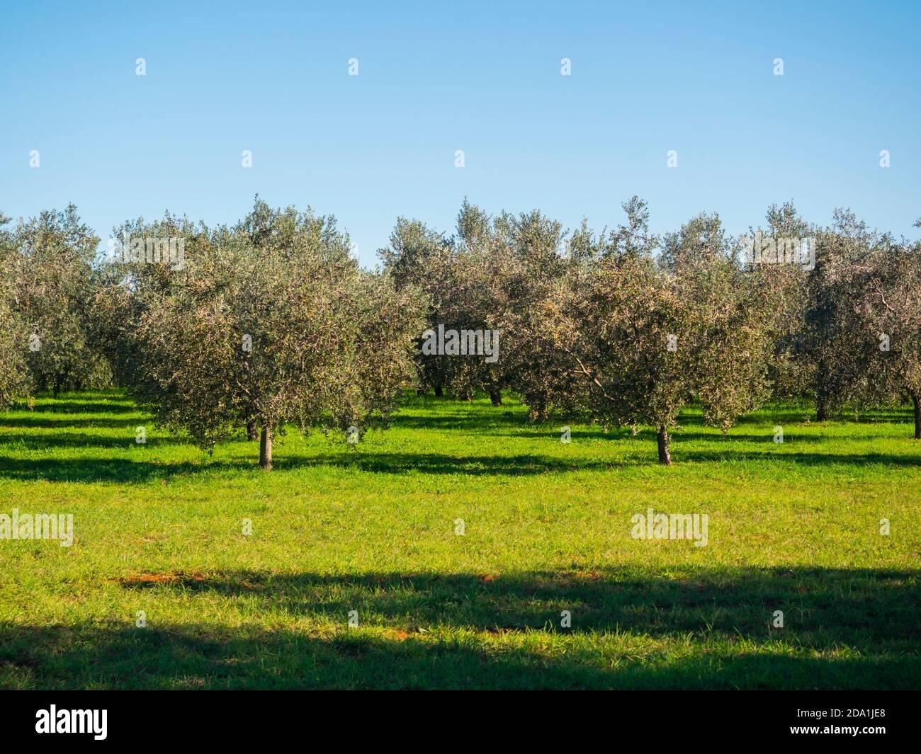 Olive trees Croatia Novigrad in Istria Stock Photo