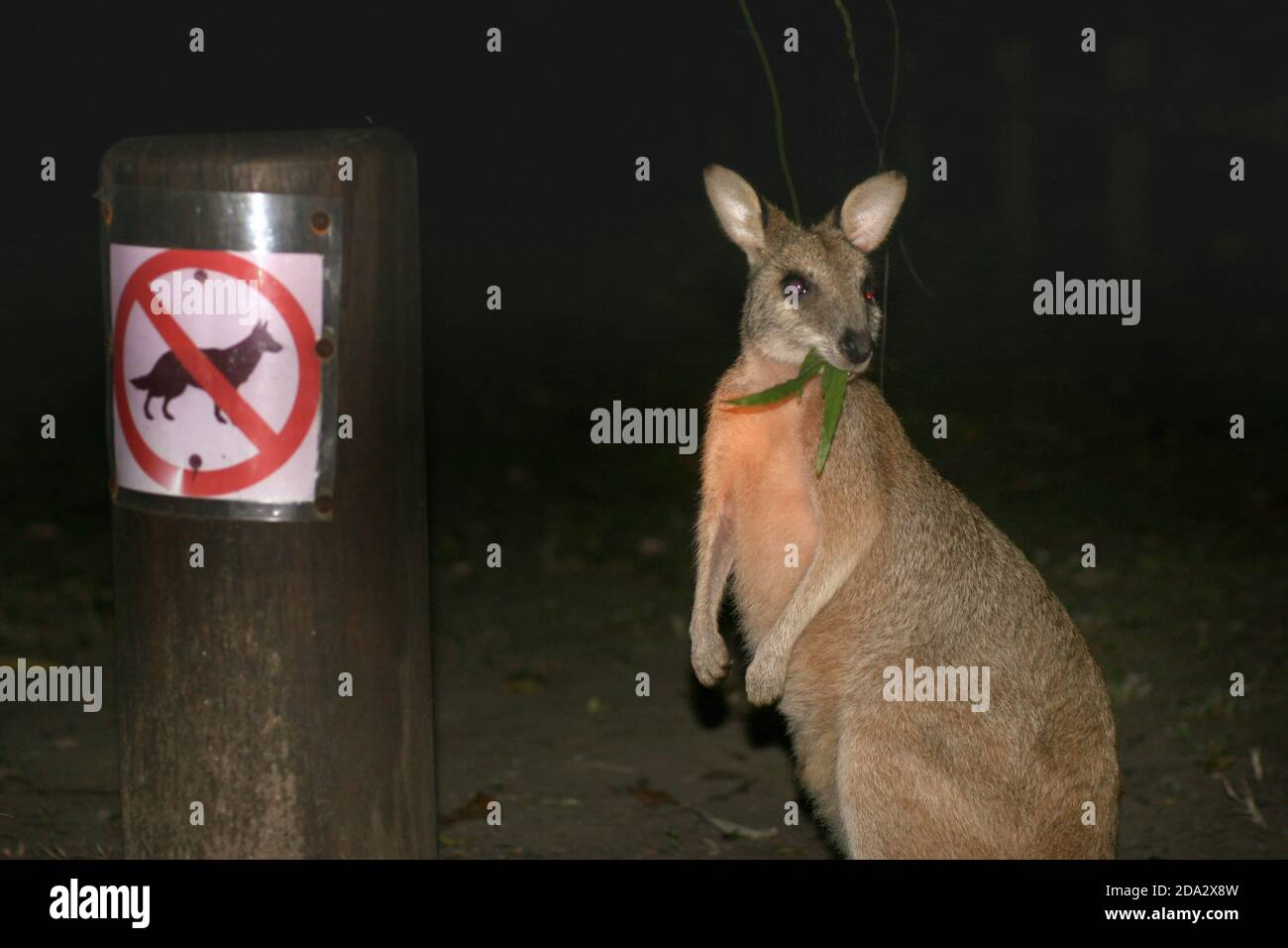 Red-necked wallaby, Bennett´s Wallaby (Macropus rufogriseus, Wallabia rufogrisea), feeding next to a prohibition sign for dogs, Australia, Queensland Stock Photo