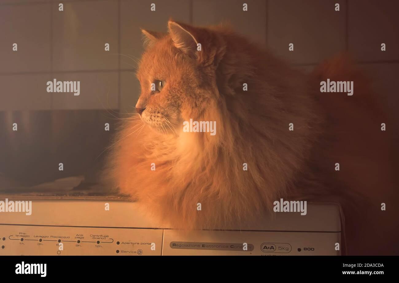 Siberian domestic cat on the washing machine Stock Photo