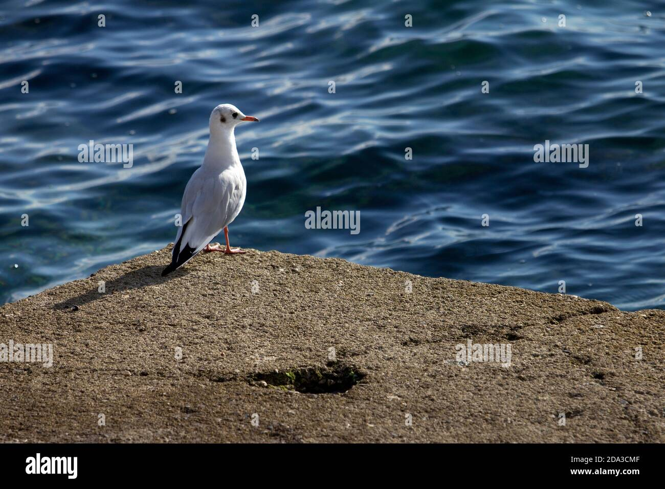 Bird and Nature. One single seagull is resting on the rock in front of the sea Stock Photo