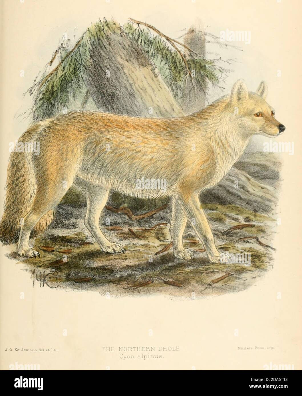 """The Tian Shan dhole (Cuon alpinus hesperius [Cyon alpinus]), also known as the Siberian dhole, western Asiatic dhole, or northern dhole is a subspecies of dhole native to the Altai and Tian Shan mountain ranges, and possibly Pamir and Kashmir. From the Book Dogs, Jackals, Wolves and Foxes A Monograph of The Canidae [from Latin, canis, """"dog"""") is a biological family of dog-like carnivorans. A member of this family is called a canid] By George Mivart, F.R.S. with woodcuts and 45 coloured plates drawn from nature by J. G. Keulemans and Hand-Coloured. Published by R. H. Porter, London, 1890 Stock Photo"""