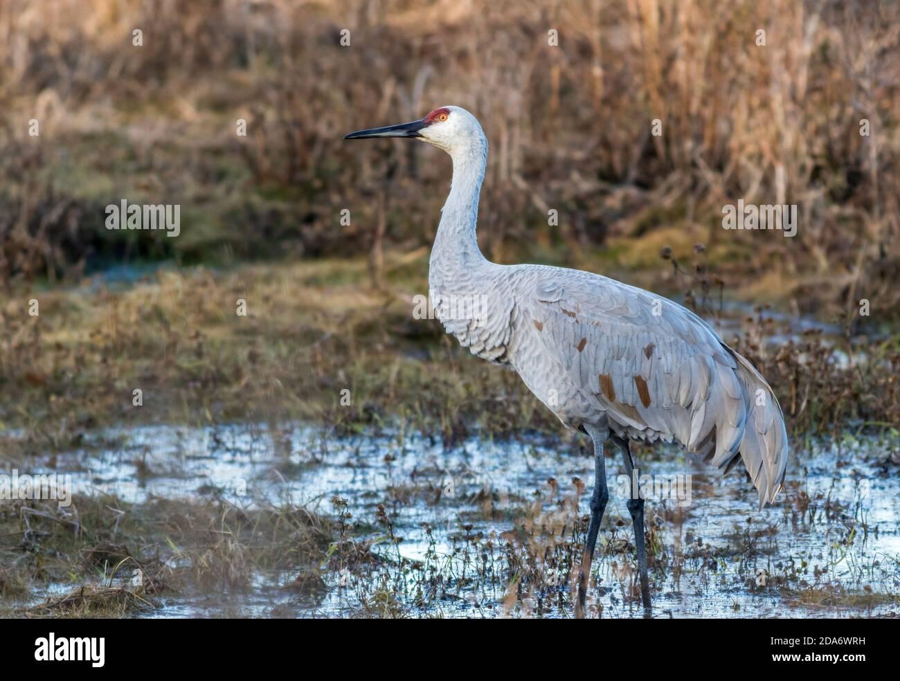 Sandhill Crane, Grus canadensis, moving around the golden grasses in the marsh Stock Photo