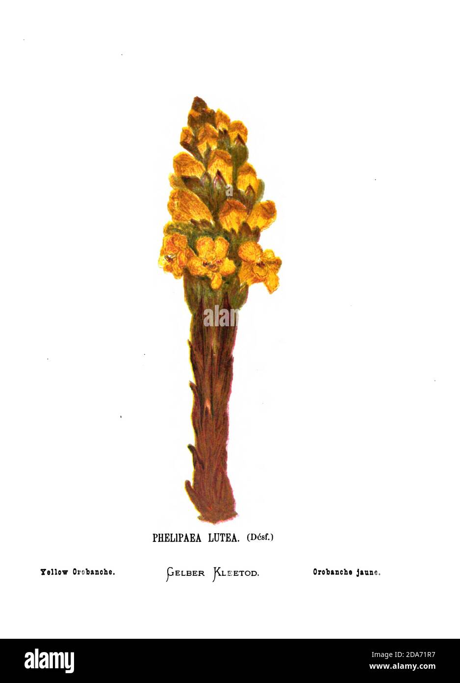 Yellow or desert broomrape (Cistanche tubulosa [Here as Phelipaea Lutea]) From the book Wild flowers of the Holy Land: Fifty-Four Plates Printed In Colours, Drawn And Painted After Nature. by Mrs. Hannah Zeller, (Gobat); Tristram, H. B. (Henry Baker), and Edward Atkinson, Published in London by James Nisbet & Co 1876 on white background Stock Photo
