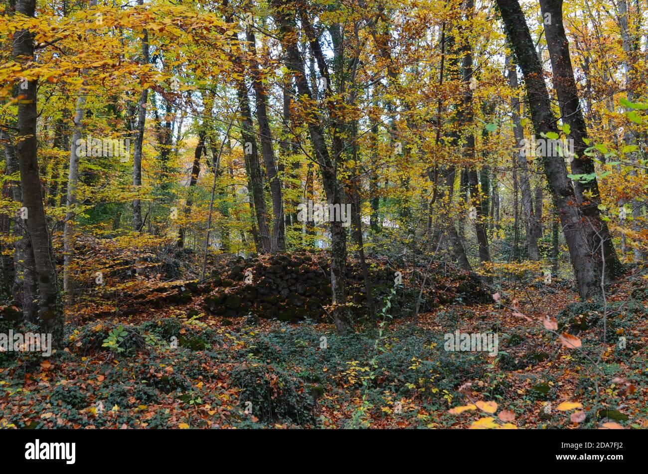 Autumn colours in the Fageda d'En Jordà beech forest, Garrotxa Volcanic Zone Natural Park, Catalonia Stock Photo