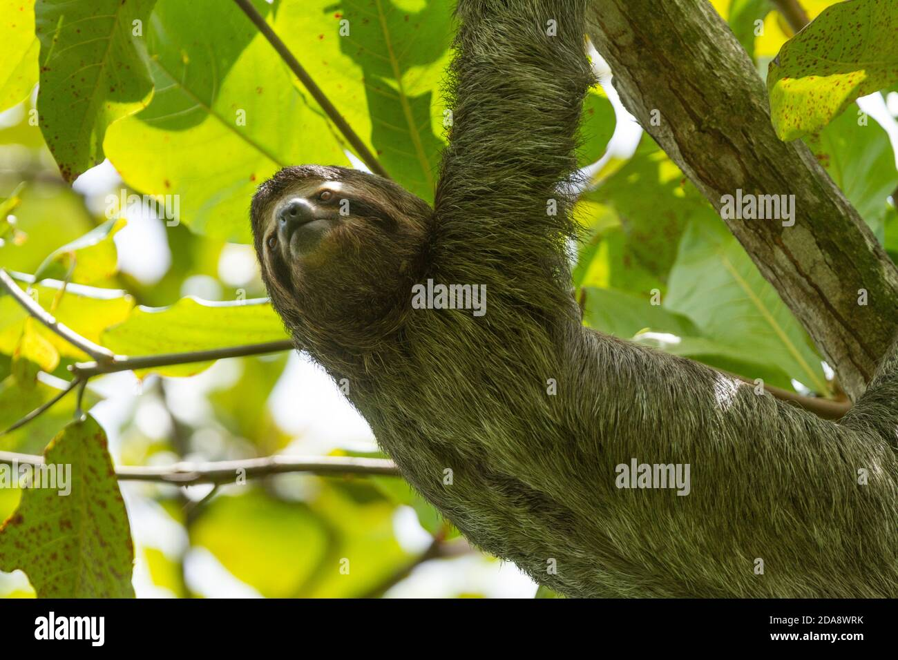 The Brown-throated Sloth, Bradypus variegatus, is a species of Three-toed Sloth found in Central and South America.  Shown here in Costa Rica.  They l Stock Photo