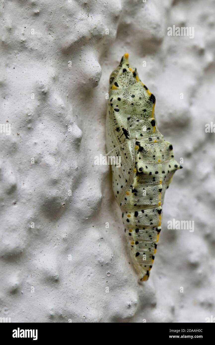 The chrysalis of a Large White butterfly (Pieris brassicae) attached to a wall, Cornwall, England, UK. Stock Photo