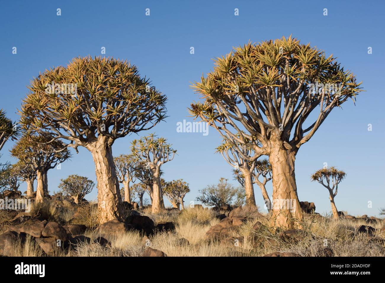 geography / travel, Namibia, Keetmanshoop, Quiver Tree Forest, Additional-Rights-Clearance-Info-Not-Available Stock Photo