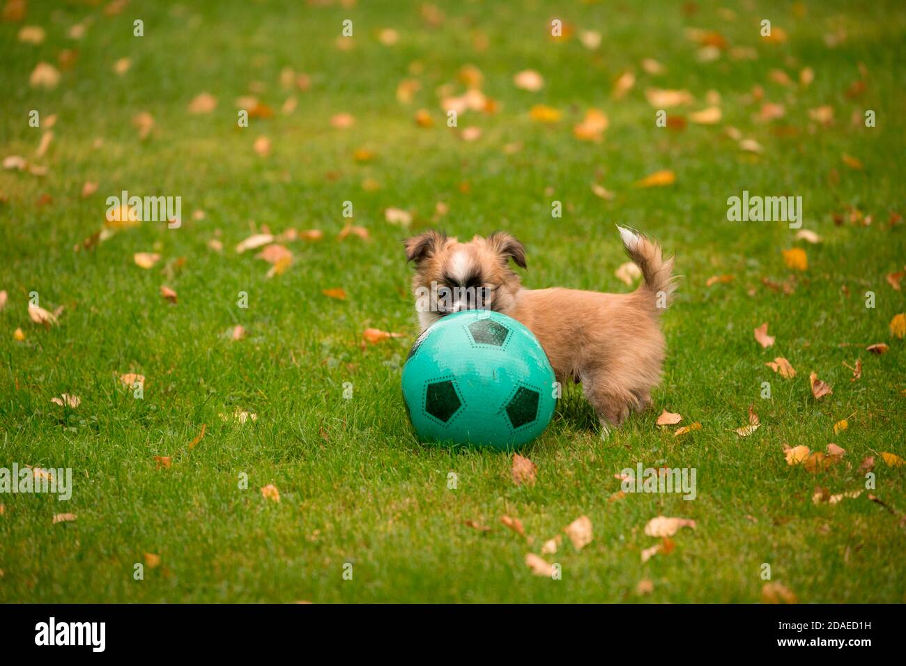 Chihuahua puppy, longhaired, play, football, outdoor Stock Photo