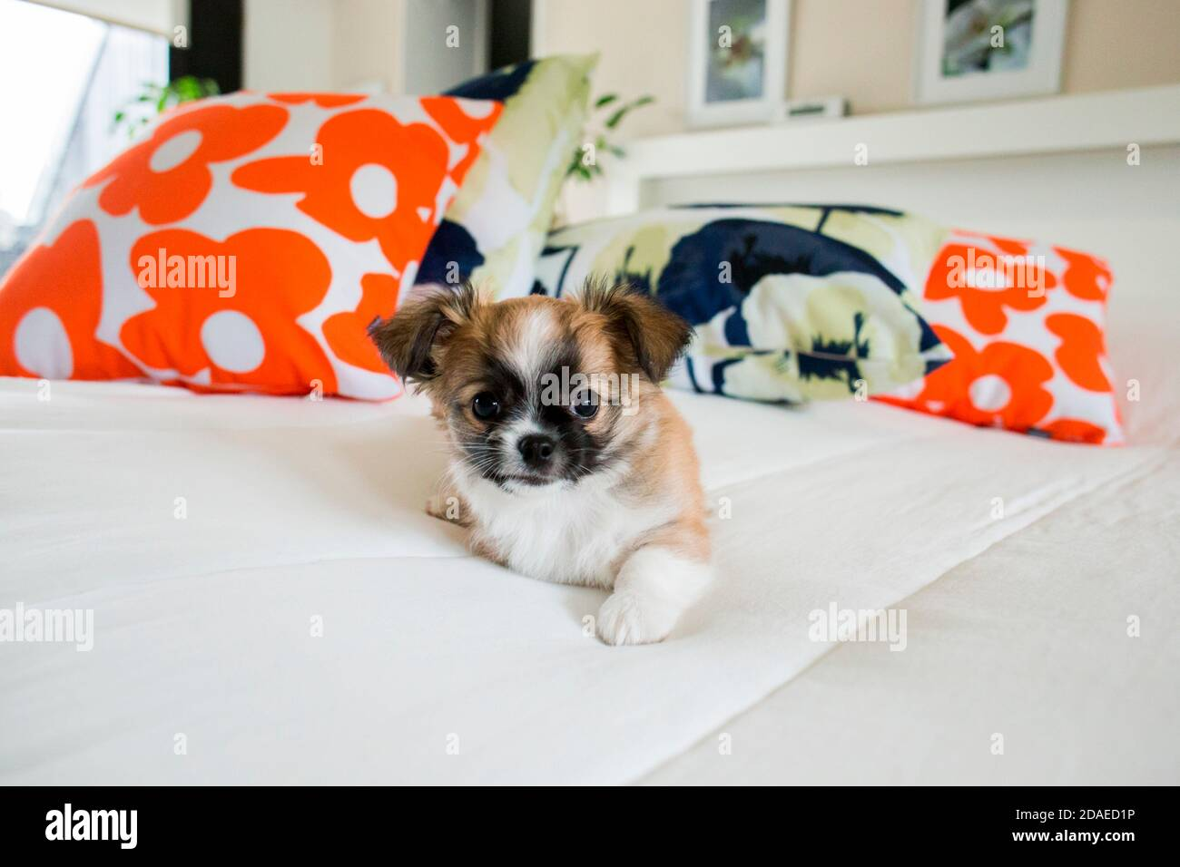 Chihuahua puppy, longhaired on the bed with pillows Stock Photo