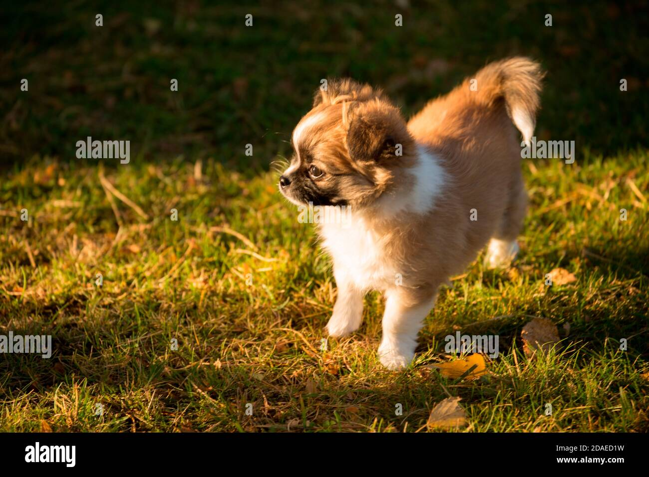 Chihuahua puppy, longhaired, garden, Finland Stock Photo