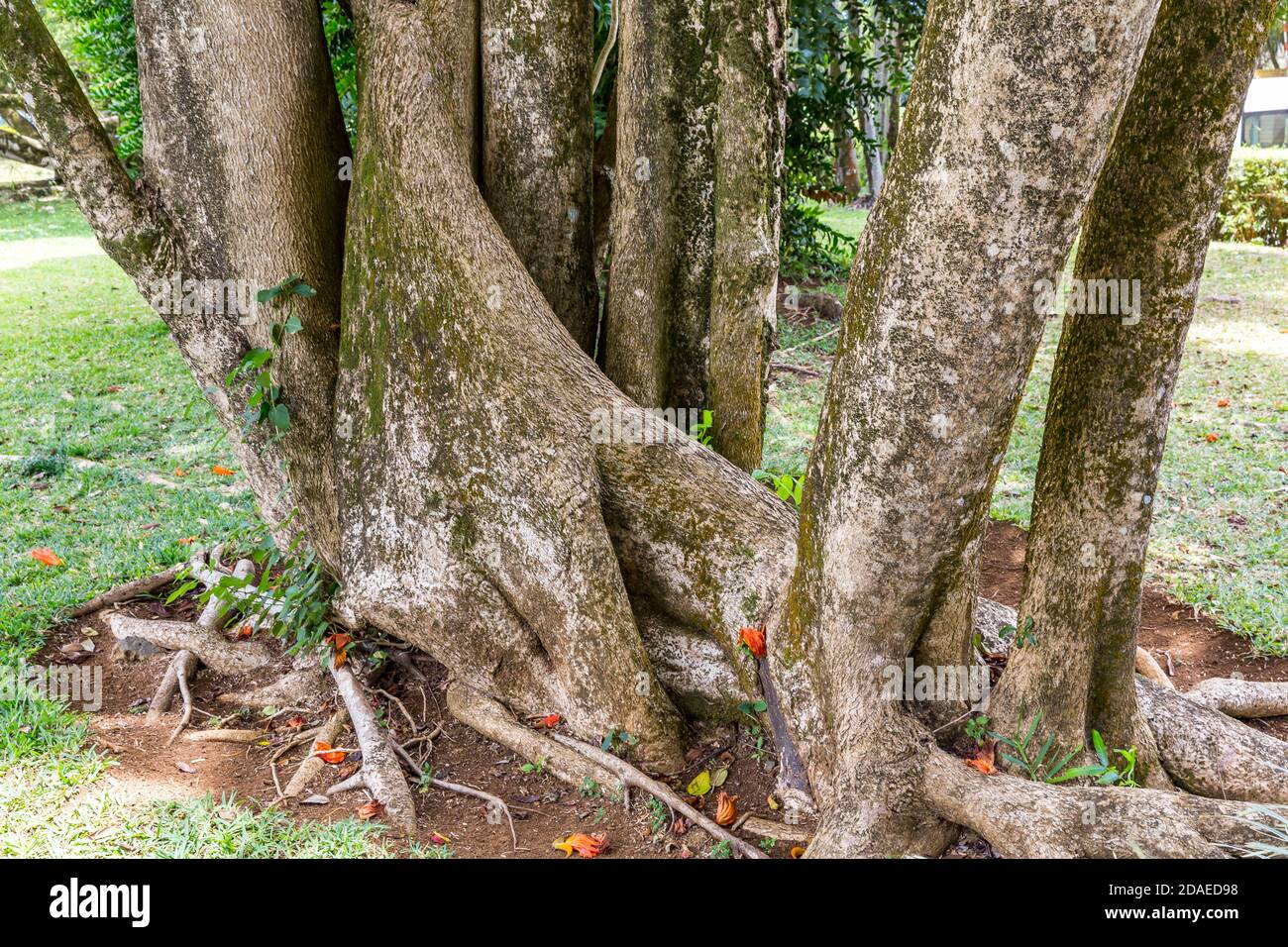 Tree trunk from the kapok tree, garden with exotic plants, rum distillery Le Saint Aubin, founded in 1819, Saint Aubin, Mauritius, Africa, Indian Ocean Stock Photo